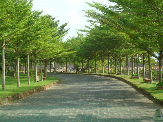 Cây bàng Đài Loan 9