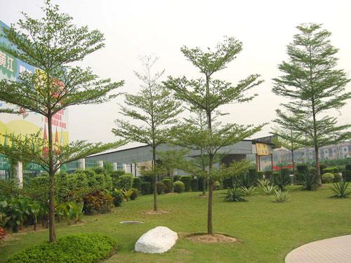 Cây bàng Đài Loan 10