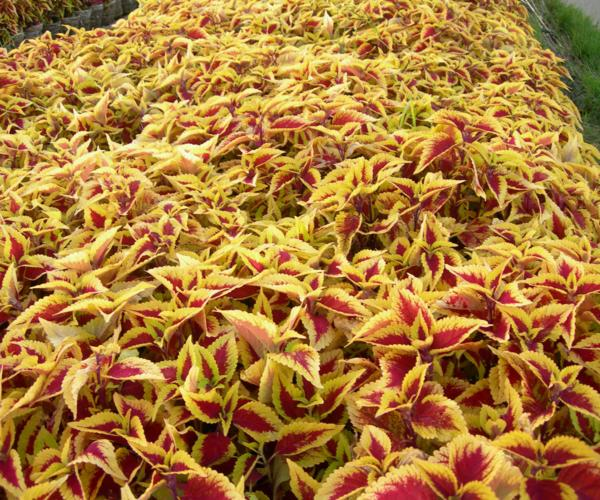 Cây lá gấm vàng 10